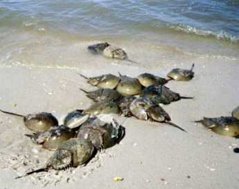 {Horseshoe Crabs}