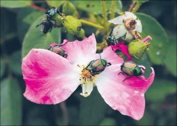 {Japanese Beetles feasting}