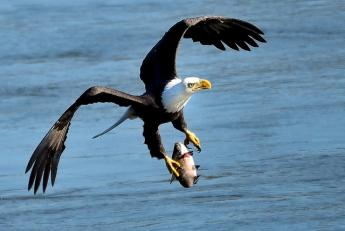 {Bald Eagle Fishing}