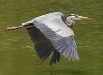 {Great Blue Heron}